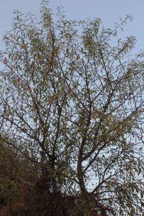 Almond (Prunus amygdalus)