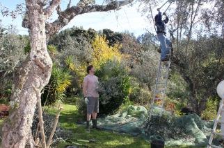 Picking Olives