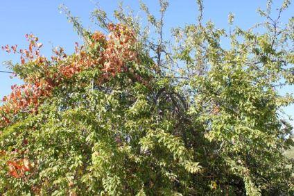 mirabelle-plum-tree