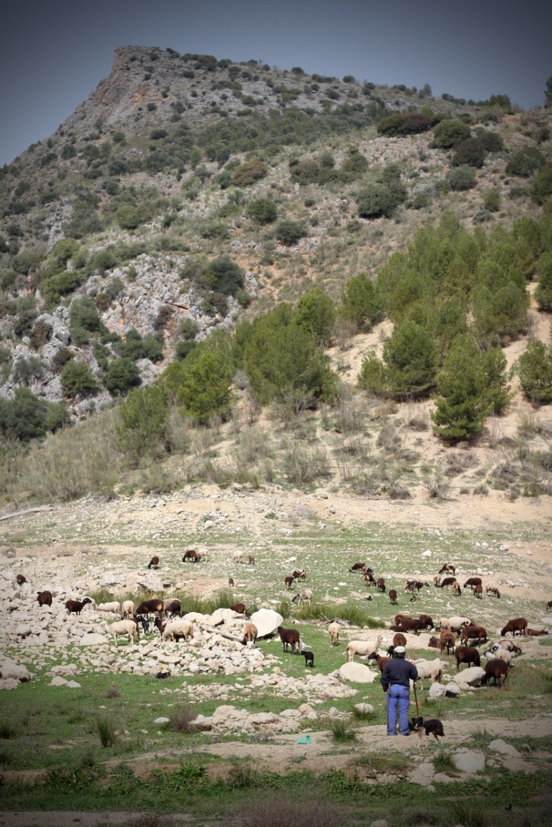 Valentino the Shepherd tending his flock with sheepdog by Topsy Turvy Tribe in Zagra, Granada, Andalucia, Spain